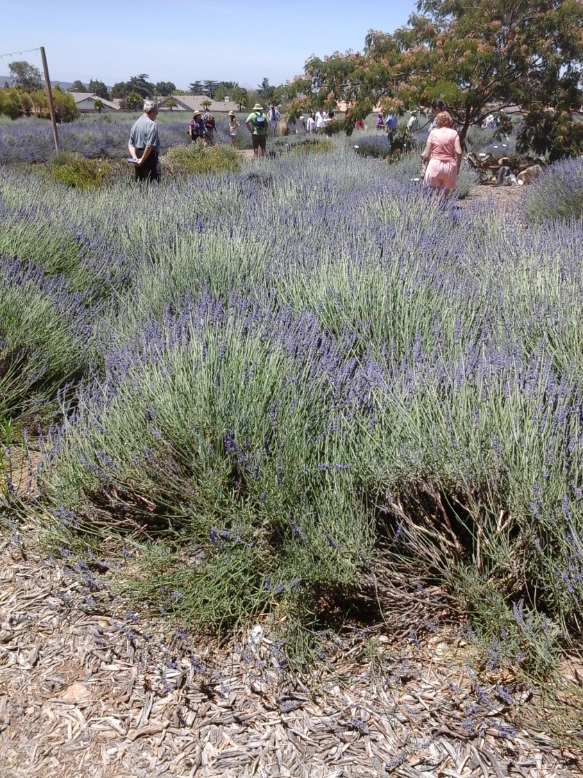 Lavender Fields 2014